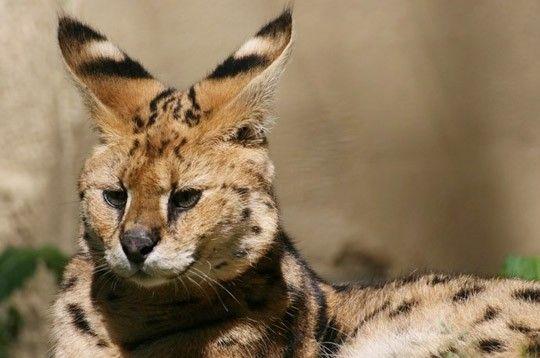 Serval - Animaux savane africaine ...